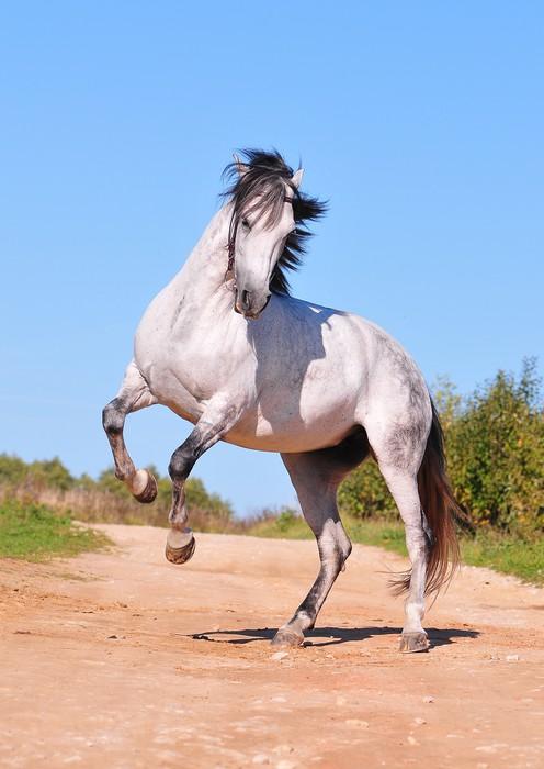 White arabian horse rearing
