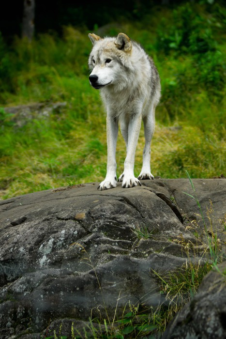 History of the Greater Yellowstone wolf restoration  The