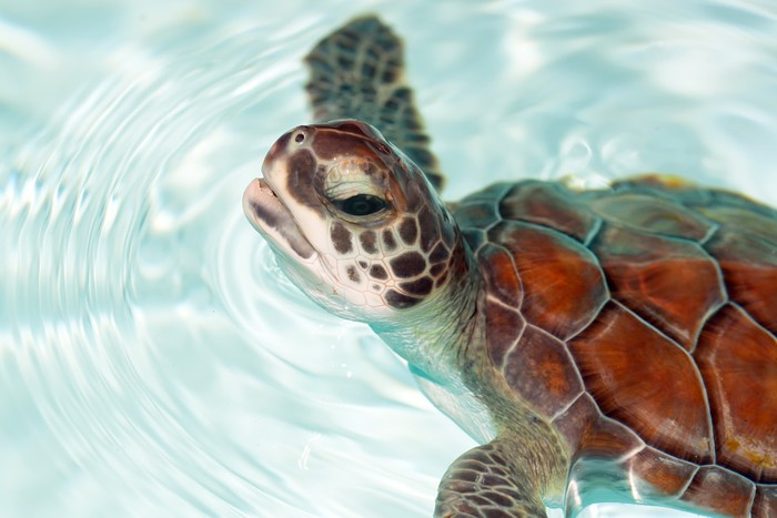 Baby green sea turtles in the water