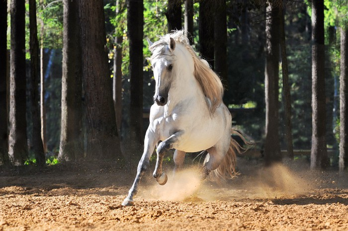White andalusian horse