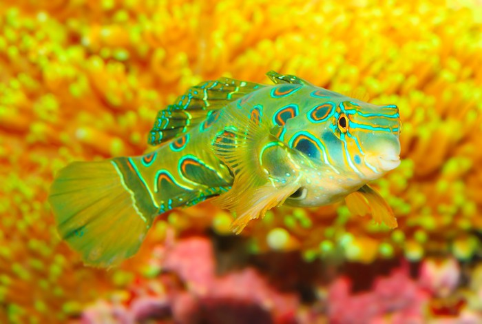 Green mandarin fish