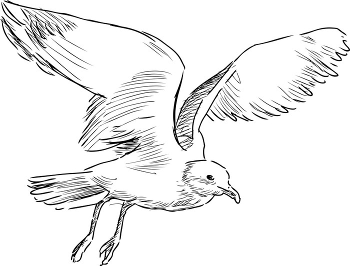 Gull drawing