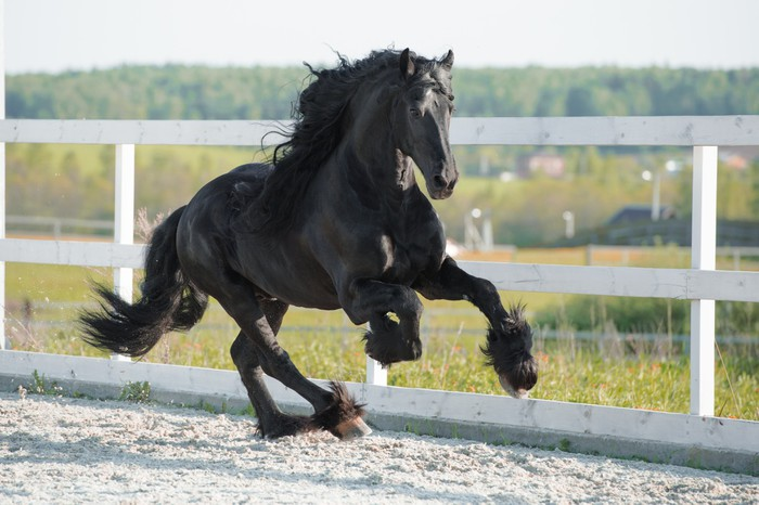 Friesian horses running