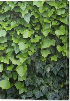 Ivy Canvas Prints