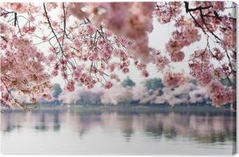 Cherry trees Canvas Prints