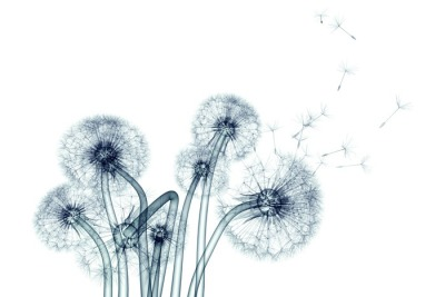 x-ray image of a flower isolated on white , the Taraxacum dandel