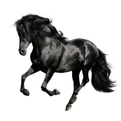 black horse runs gallop isolated on white backgrond