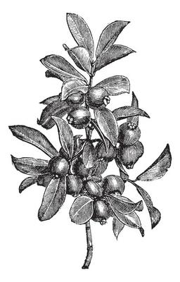 Cattley guava or Psidium littorale vintage engraving
