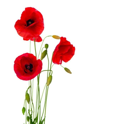 Red Poppy Flower Isolated on a White Background