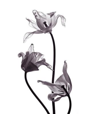 three tranparent tulips on white background