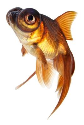 Telescope eye goldfish