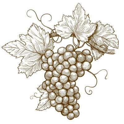 engraving grapes on the branch on white background