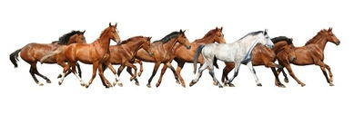 Herd of wild horses running isolated on white