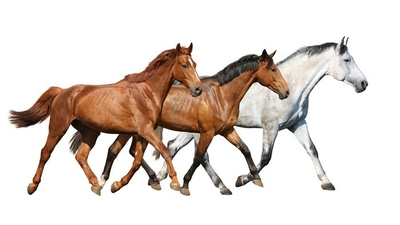 Herd of wild horses running free on white background