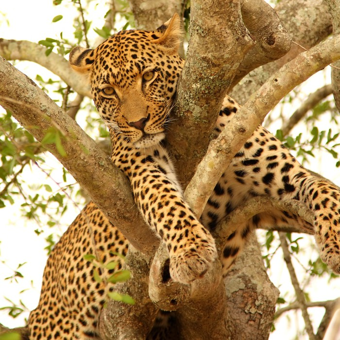 Leopard in a tree in the Sabi Sands Reserve Vinyl Wall Mural - Themes