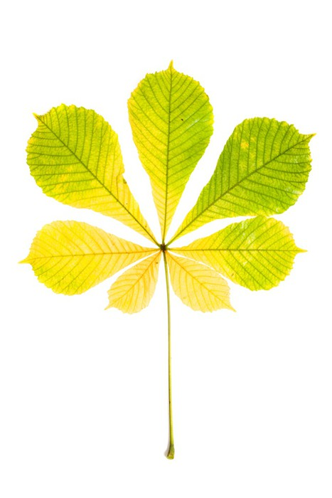 Vinylová Tapeta Podzimní kaštan list izolovaných na bílém pozadí - Roční období