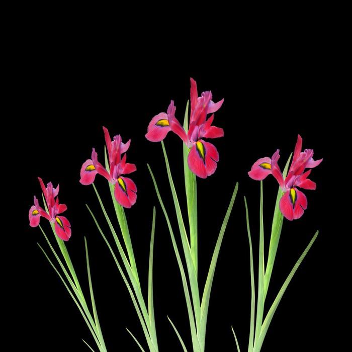 Vinylová Tapeta Red Iris Flower Beauty - Roční období