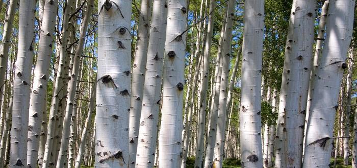 Vinylová Tapeta Birch forest panorama - Témata