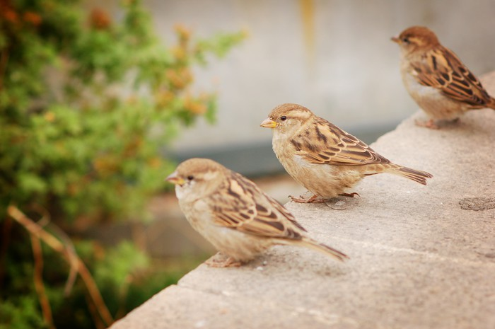 Three sparrows wall mural pixers we live to change three sparrows vinyl wall mural birds thecheapjerseys Gallery