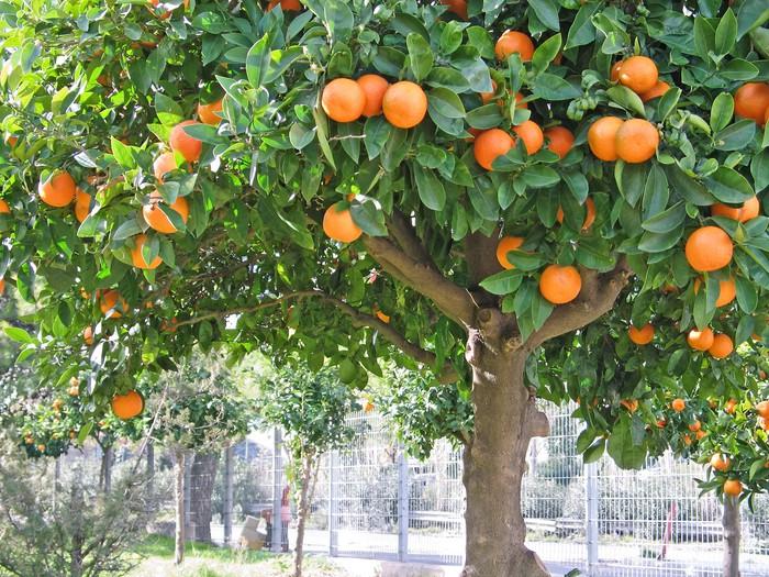 Sour Orange Tree Sticker Pixers 174 We Live To Change