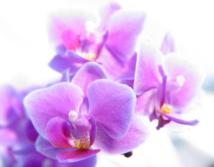 Tableau sur Toile Phalaenopsis - Thèmes