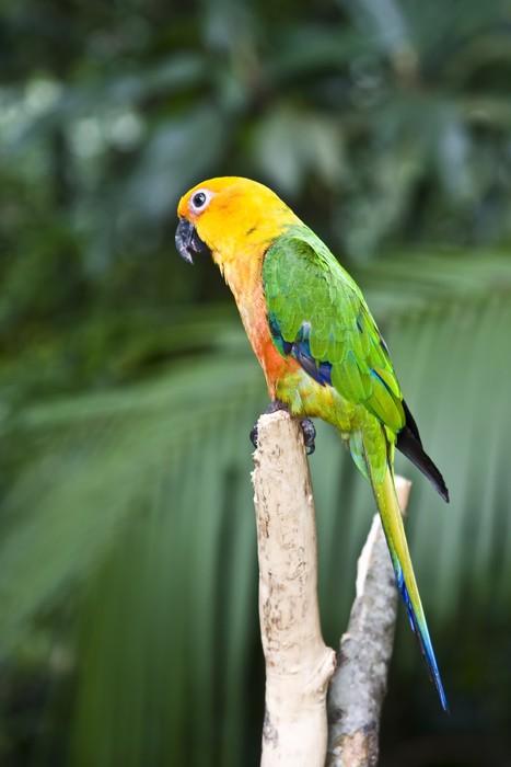 Vinylová Tapeta Jandaya papoušek Parrot - Ptáci