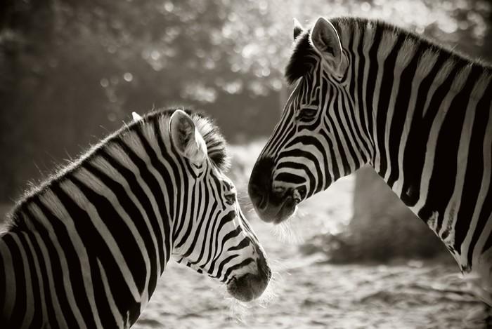 portrait of to zebra's, sepia look Sticker - Pixerstick - Themes