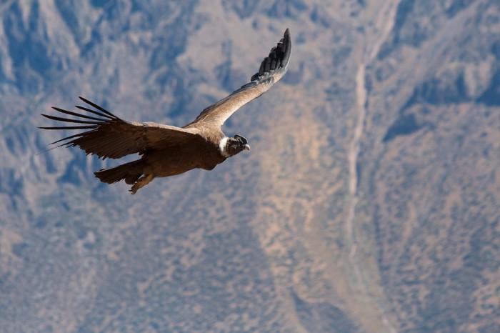 Vinylová Tapeta Condor kolemjdoucí v Colca Canyon - Ptáci