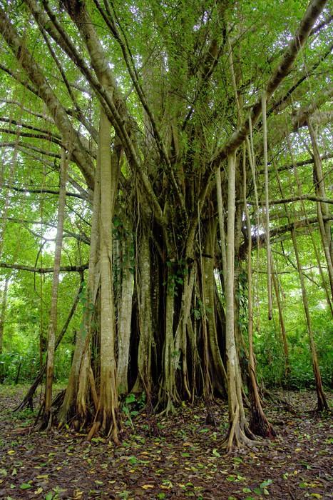 Fototapete Amazonas-Dschungel Baum • Pixers® - Wir leben, um zu ...