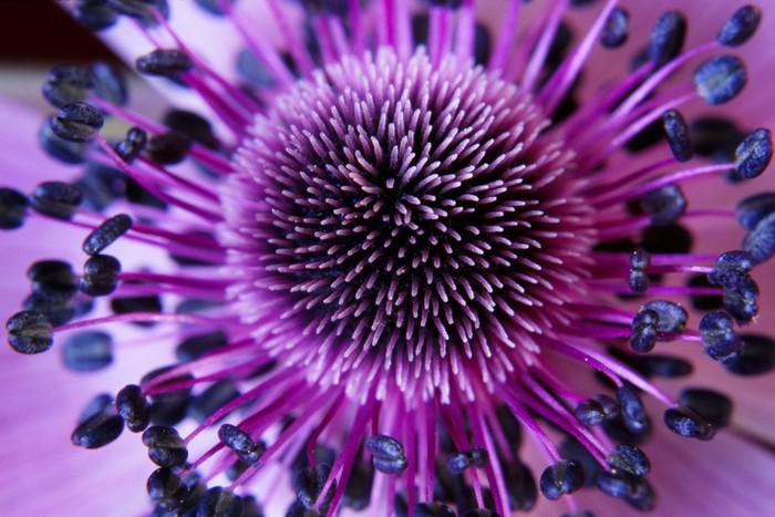 Tableau sur Toile Anamone fleur - Styles