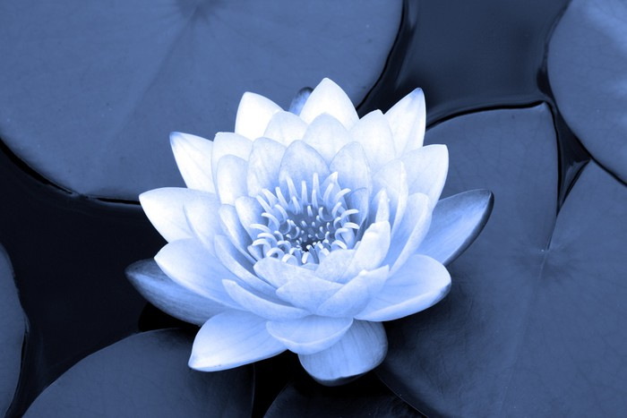 water lily in blue Sticker - Pixerstick - Themes