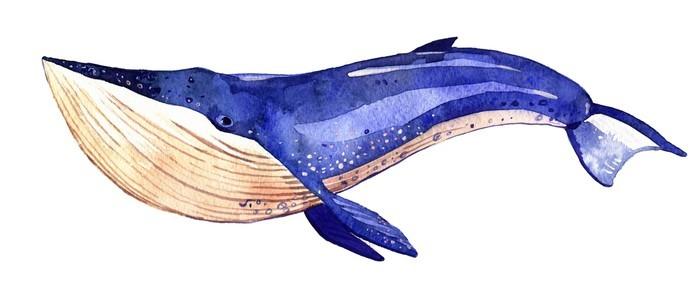 Vinylová Tapeta Akvarel velryba, ručně malované ilustrace na bílém pozadí - Zvířata