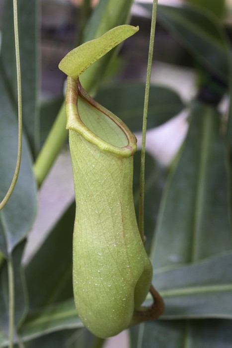 Vinylová Tapeta Nepenthes gracilis (Plante masožravec) - Rostliny