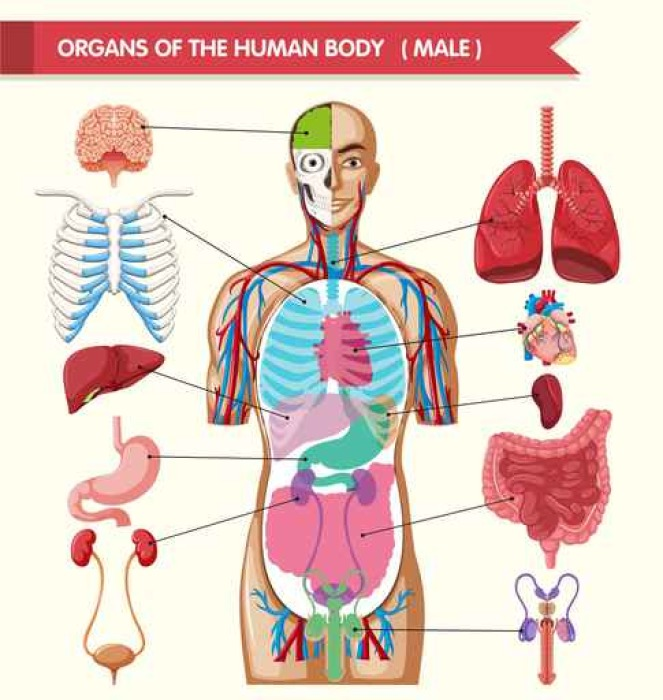 Chart Showing Organs Of Human Body Wall Mural Pixers We Live To