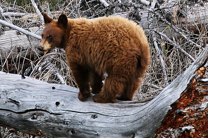 Vinylová Tapeta Yellowstone medvěd - Témata