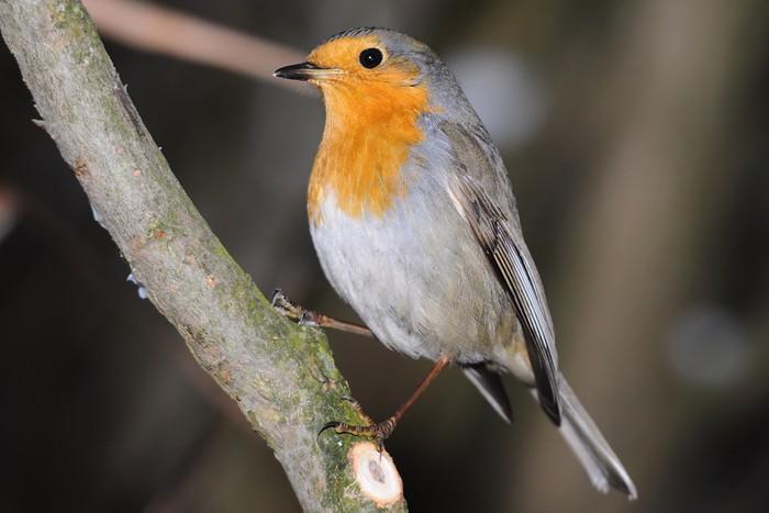 Vinylová Tapeta Evropská Robin ptáka - Ptáci