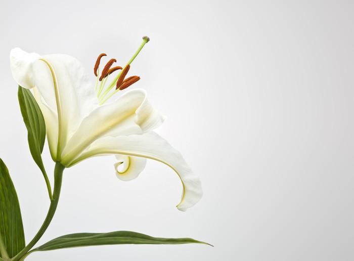 Vinylová Tapeta Bílá lilly - Květiny