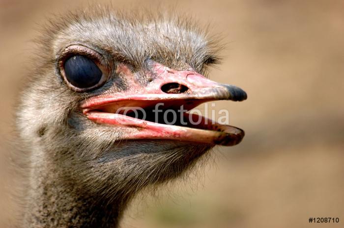 Vinylová Tapeta Pštros emu - Ptáci