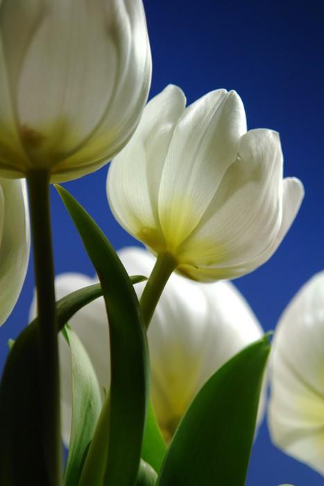 Vinylová Tapeta Tulipán - Květiny