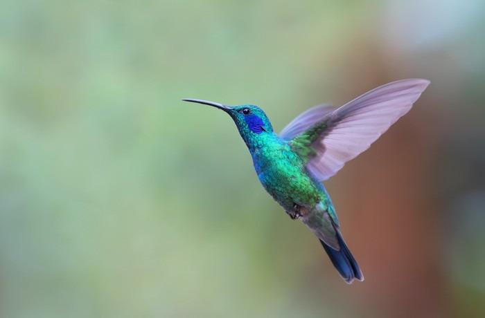 Fototapeta Winylowa Zielona Violetear Koliber W Locie W Kostaryce Zwierzeta