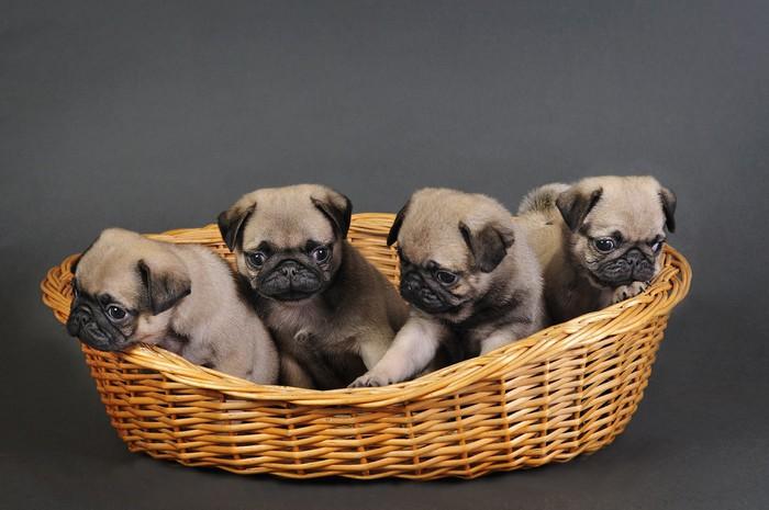 Neljä mopsipentua. Itsestäänkiinnittyvä valokuvatapetti - Pugs