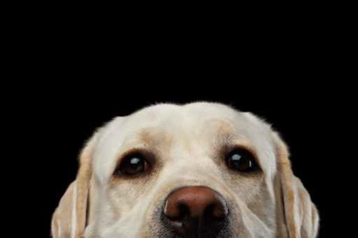 Fotomural Primer plano retrato de Labrador retriever de color beige ...