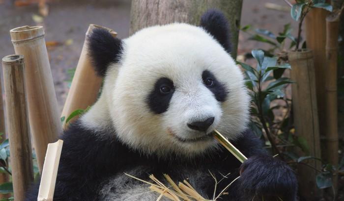 Vinylová fototapeta Panda jíst bambus - Vinylová fototapeta