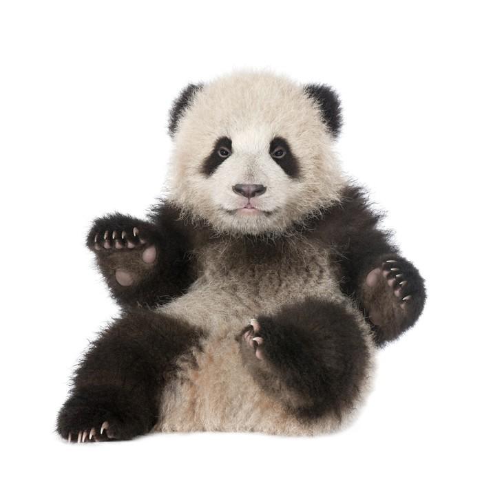 Vinilo pixerstick panda gigante 6 meses ailuropoda for Vinilo gigante pared