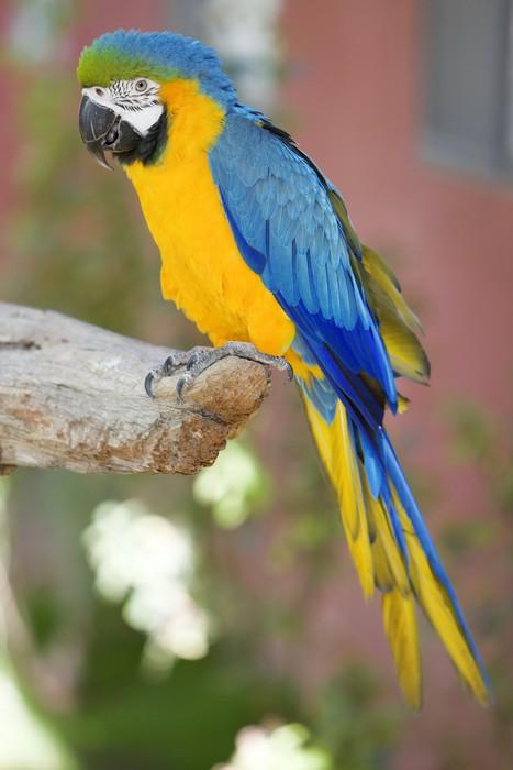 Vinylová fototapeta Modrá a žlutá papoušek papoušek sedí na větvi - Vinylová fototapeta