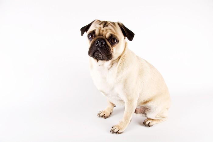 Vinylová Tapeta Pug dog - Savci