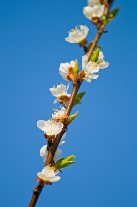 Vinylová Tapeta Třešňový květ větev - Rostliny