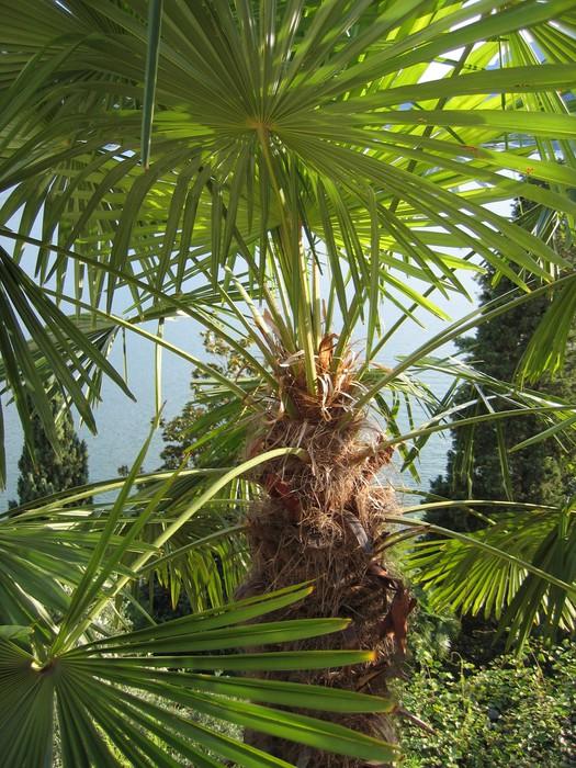 Vinylová Tapeta Palm - Ticino - Evropa