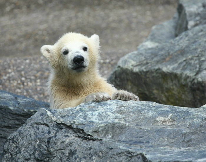 tableau sur toile jeune ours polaire pixers nous. Black Bedroom Furniture Sets. Home Design Ideas