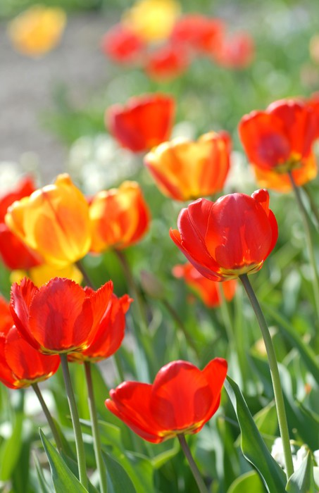 Vinylová Tapeta Červený tulipán - Tulipa X hybrida Hort. Průvod - Domov a zahrada